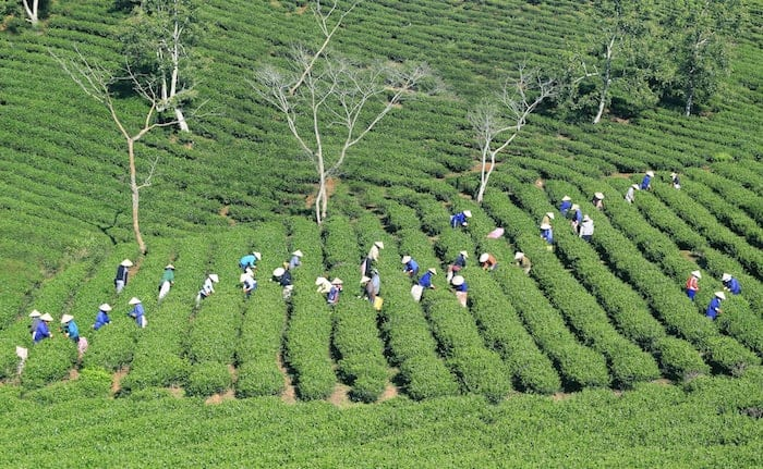 group of farmers picking tea tea tips