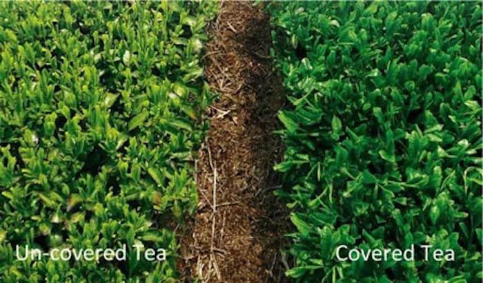 Differences in color between covered tea (Matcha) and non-covered tea