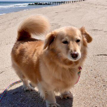 Maya the therapy dog walking at the beach to reduce stress naturally