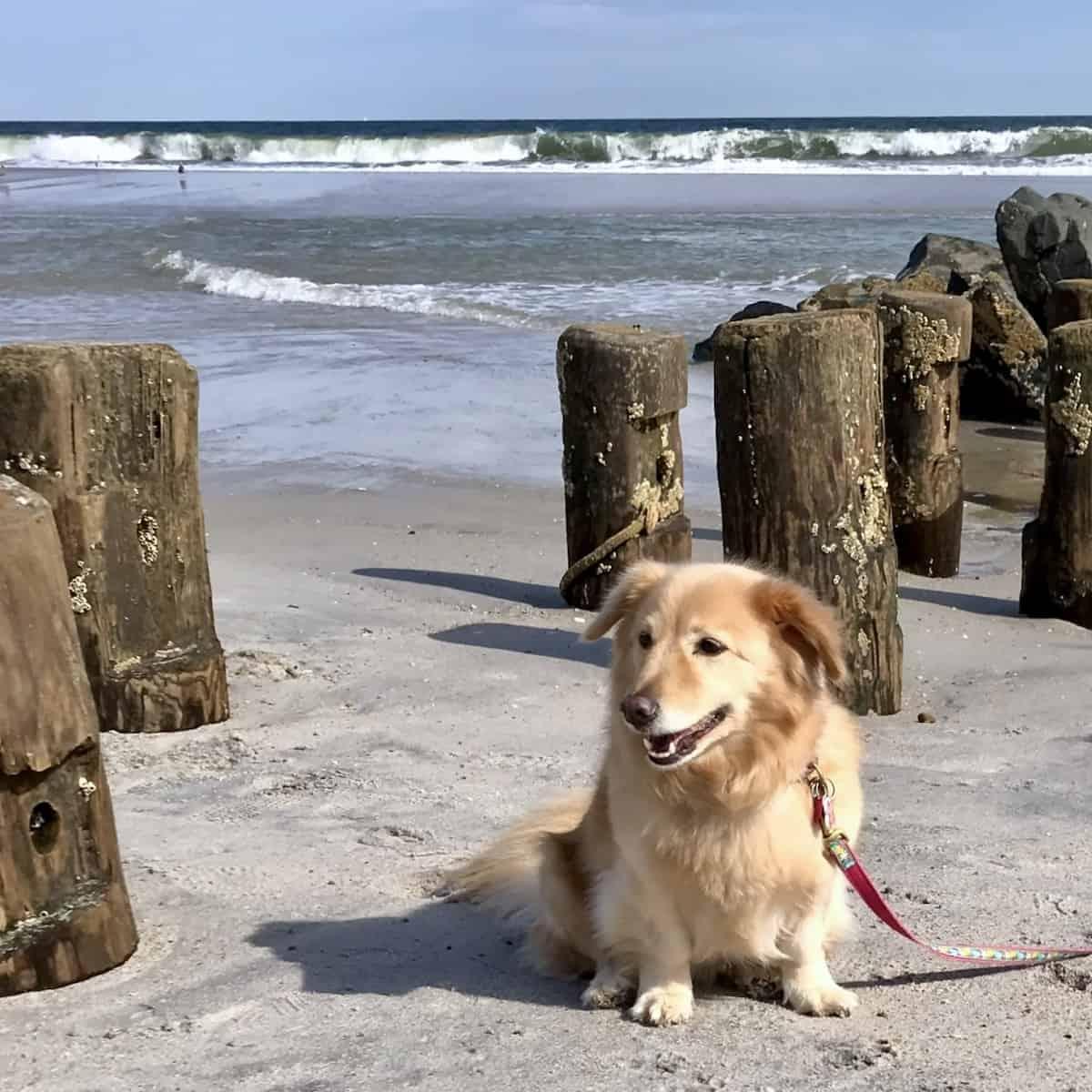 maya the therapy dog at the beach
